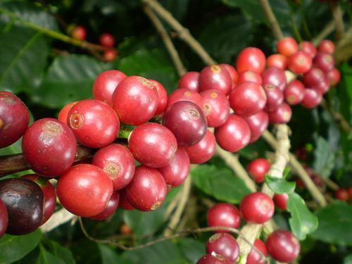 plantas-de-cafe-San-Salvador