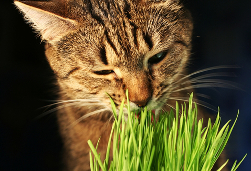 Cat-facts-cat-eating-grass