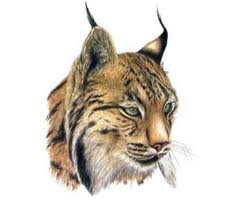 lince 4