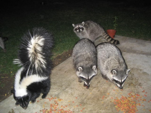 Raccoons_&_skunk_eating